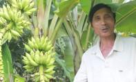 Xuất hiện gốc cây chuối xòe hình nan quạt, trổ hai quầy ở Đồng Nai