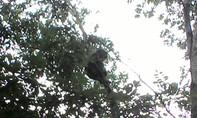 Thả khỉ mặt đỏ nguy cấp về tự nhiên
