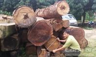 Sau khi nổ súng truy bắt, số lượng gỗ lậu thu được là 70,4m3