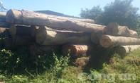 Phát hiện một vụ phá rừng, vận chuyển gỗ khối lượng lớn