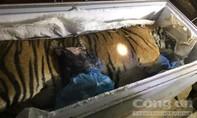 Bắt quả tang đối tượng đang tàng trữ một cá thể hổ nặng hơn 100kg