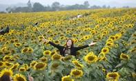 Hàng vạn người đổ về cánh đồng hoa hướng dương ở Nghệ An