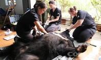 Cứu hộ thành công 6 cá thể gấu ngựa bị nuôi nhốt hơn 10 năm
