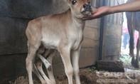 Bò mẹ sinh bê con 7 chân gây xôn xao ở Lâm Đồng