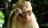 Năm khỉ nói chuyện ăn...óc khỉ