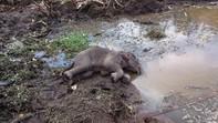 Phát hiện một cá thể voi rừng con bị chết
