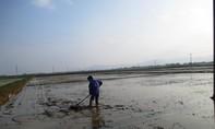 Lúa mới cấy chết hàng loạt ở Thanh Hóa