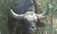 Bò tót hơn 10 năm tuổi chết giữa rừng