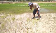 Bắc Tây Nguyên dân khát, cây trồng khô héo vì hạn