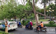 Cây cổ thụ trong Dinh Thống Nhất tróc gốc đổ xuống đường