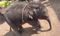 Giải cứu chú voi con 2 tháng tuổi rơi xuống giếng