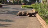 Lâm Đồng: Bắn hạ trâu đực húc 3 người bị thương