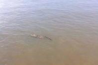 Cá sấu trưởng thành 70kg xuất hiện ở sông Soài Rạp