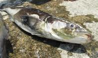 Báo cáo chưa hết với Thủ tướng về nguyên nhân cá chết ở Tĩnh Gia