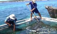Cá chết tại đảo Phú Quý là do hiện tượng tự nhiên