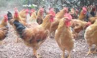 Đề nghị nhập gà Trung Quốc để kiểm soát dịch bệnh?!