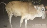 Hai anh em sinh đôi dắt trộm bò đem bán