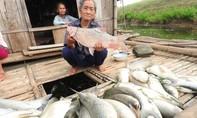 Hình ảnh cá chết trắng sông Bưởi, người nuôi mất tiền tỷ