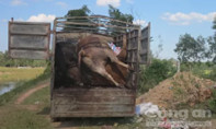 Bắt xe tải vận chuyển 5 con bò chết đi tiêu thụ