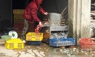 Kinh hãi hàng ngàn con gà mới nở bị nhúng nước sôi làm mồi