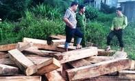 Lại tiếp tục phát hiện thêm nhiều khối gỗ Pơ Mu