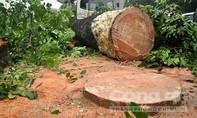 Cưa cây bất cẩn, khúc gỗ đè chết người đi đường