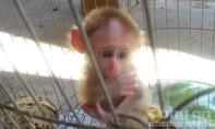 Giải cứu khỉ con thèm sữa mẹ bị người dân nhốt trong lồng sắt
