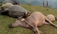 5 con trâu bị sét đánh chết trong đêm