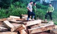Năm đối tượng vận chuyển gỗ pơ mu ở Quảng Nam ra đầu thú