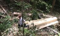 'Rút ruột' rừng phòng hộ đầu nguồn Vĩnh Linh