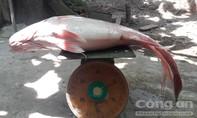 Cá Sửu vàng 'khủng' mắc lưới ngư dân trên sông Hậu