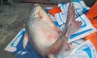 Ngư dân bắt được cá tra nặng hơn 220kg