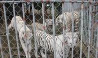 Hổ vồ chết người khi đang được chăm nuôi
