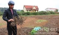 Thương lái Trung Quốc lùng sục mua rễ cây trong rừng tự nhiên