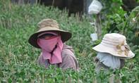 Phú Yên: Tết đến hoa không nở khiến người dân khốn đốn