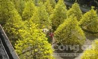 Chiêm ngưỡng vườn Mai vàng bạc tỷ ngày Xuân