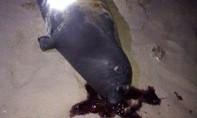 Hải cẩu bị người dân đánh chết vì cắn phá lưới