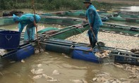Thủy điện xả lũ đột ngột khiến người nuôi cá lồng mất trắng