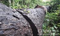Vụ phá rừng ở Gia Lai: Kết quả kiểm tra có đúng thực tế?