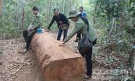 Xử lý nghiêm cán bộ bảo vệ rừng dựng chuyện lâm tặc đe dọa cướp gỗ