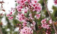 Vì sao hoa mai anh đào Đà Lạt mùa này không nở?