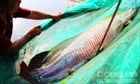 Thương lái trả giá cá Hải tượng 'khủng' giá 350 triệu