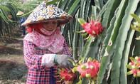 Nông dân Trà Vinh phấn khởi vì giá thanh long ruột đỏ tăng vọt