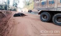 Chú bò tót 800kg húc vào xe tải chết tại chỗ