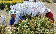 Hơn 14 triệu giỏ hoa kiểng Sa Đéc được tiêu thụ trong dịp Tết