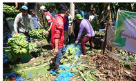 'Giải cứu' 300 tấn chuối trong 8 ngày cho nông dân