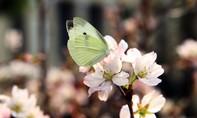 Kiệt tác hoa Anh Đào nở rộ khiến người Hà Nội trầm trồ