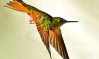CLIP: Cuộc tìm kiếm bạn tình của loài chim đặc biệt nhất thế giới