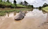 Cá mập hoang dã nằm giữa đường