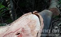 Vì sao rừng phòng hộ tại Quảng Trị bị tàn phá?
